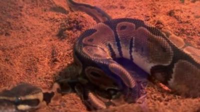Avez-vous déjà vu un serpent qui pète ?