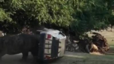 Un rhinocéros charge et défonce une voiture dans un zoo