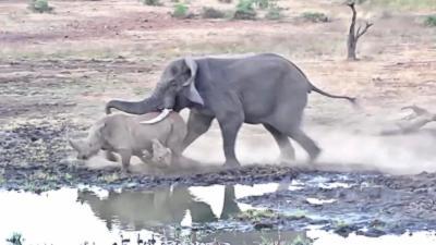 Un éléphant attaque un rhinocéros et son bébé