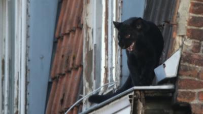 Une panthère noire se ballade sur le toit d'un immeuble dans les Hauts-de-France