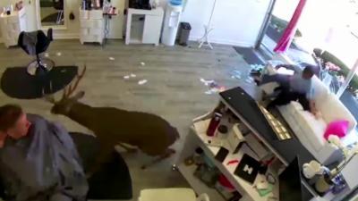 Un cerf rentre dans un salon de coiffure en explosant la devanture