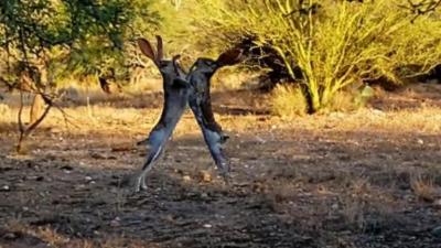 Avez-vous déjà vu deux lièvres qui se battent ?