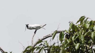 L'araponga blanc : L'oiseau le plus bruyant au monde qui balance du 125 décibels