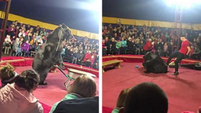 Un ours de cirque se jette sur son dresseur et l'attaque