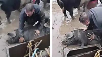 Un fermier ramène un de ses cochons à la vie