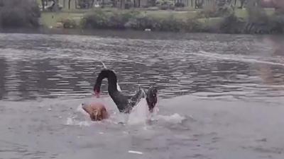 Un chien se fait attaquer par un cygne dans un lac
