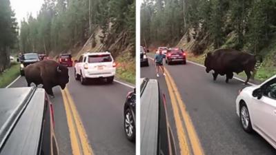 Un homme pas très malin sort de sa voiture pour aller déloger un bison qui bloque la route