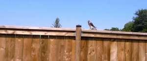 Un homme va filmer un jeune faucon dans son jardin quand soudain...